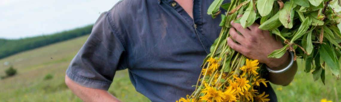 Boiron – L'arnica, de la plante à la granule